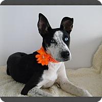 Adopt A Pet :: Indigo (Indy) - Monteregie, QC