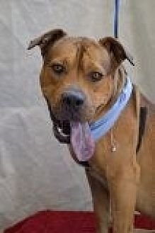 Pit Bull Terrier Mix Dog for adoption in Las Vegas, Nevada - Buck