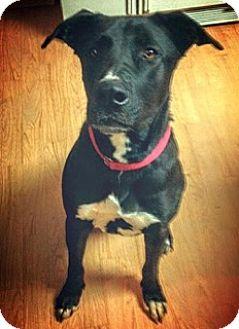 Labrador Retriever Mix Dog for adoption in Sonora, California - Luke