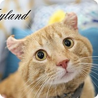 Adopt A Pet :: Neyland $45 Male American Curl!(FIV+) - knoxville, TN