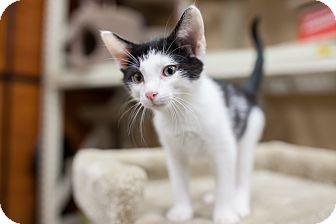 Domestic Shorthair Kitten for adoption in Statesville, North Carolina - Clark