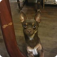 Adopt A Pet :: Bo - Bedford, TX