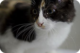 Calico Kitten for adoption in Jefferson, North Carolina - Eva