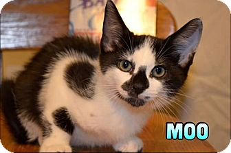 Domestic Shorthair Kitten for adoption in Trevose, Pennsylvania - Moo