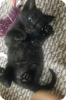 Bombay Kitten for adoption in Taylor Mill, Kentucky - Smoochum-Born August 2016