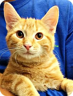 Domestic Shorthair Cat for adoption in Mt. Pleasant, Michigan - Breyer