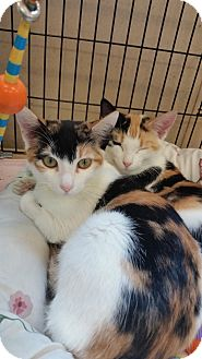 Calico Kitten for adoption in Alpharetta, Georgia - Lila