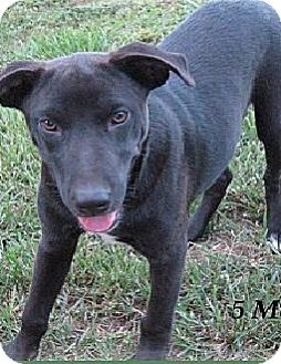 Labrador Retriever/Border Collie Mix Puppy for adoption in Marlborough, Massachusetts - Logan-Read About Me!