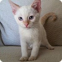 Adopt A Pet :: SIAMESE MIX KITTENS - Denver, CO