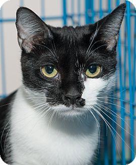Domestic Shorthair Cat for adoption in New York, New York - Whitney