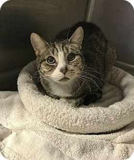 Domestic Shorthair Cat for adoption in Barrington Hills, Illinois - Allen 10