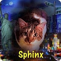 Domestic Shorthair Cat for adoption in Bedford Hills, New York - Sphnix