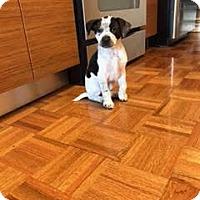 Adopt A Pet :: Tinkerbell - Manhattan, NY