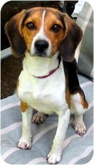 Beagle Dog for adoption in Portland, Ontario - Bella
