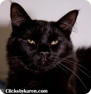 Domestic Mediumhair Cat for adoption in Hyde Park, New York - Eli