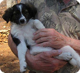 Cockapoo/Sheltie, Shetland Sheepdog Mix Puppy for adoption in baltimore, Maryland - Megan