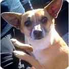 Adopt A Pet :: Rockee Starr(PRA)
