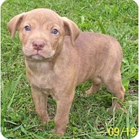 Adopt A Pet :: Malbec - Allentown, PA