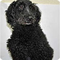 Adopt A Pet :: Winston - Port Washington, NY