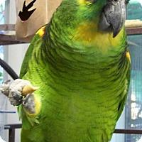 Adopt A Pet :: Chico - Tampa, FL