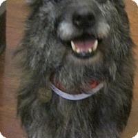 Adopt A Pet :: Kylee-PUPPYMILL RESCUE - Oak Ridge, NJ