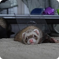 Ferret for adoption in Fawn Grove, Pennsylvania - Peaky