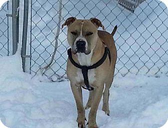 Staffordshire Bull Terrier Mix Dog for adoption in Heber City, Utah - Shiloh