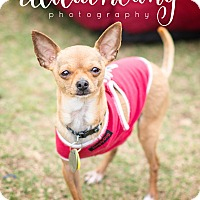 Chihuahua Dog for adoption in Arlington, Texas - Petey