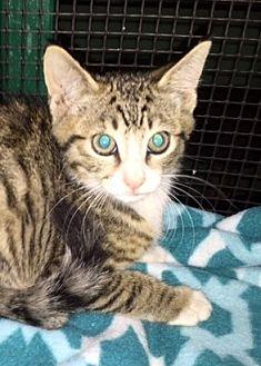 Domestic Shorthair Kitten for adoption in Porter, Texas - Swayze