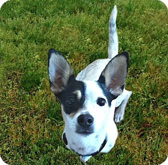 Rat Terrier/Fox Terrier (Toy) Mix Puppy for adoption in Redondo Beach, California - Dodger needs a buddy!