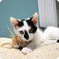 Adopt A Pet :: Kittens - Paris, ME
