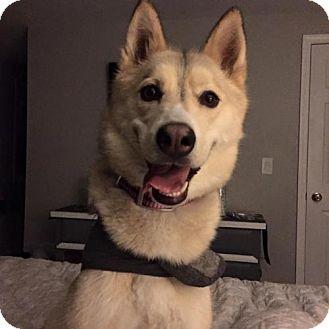 Siberian Husky Dog for adoption in Cedar Rapids, Iowa - Rilee