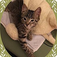 Adopt A Pet :: Lumberjack - Mt. Prospect, IL