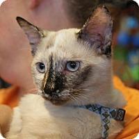 Adopt A Pet :: Java - ADOPTION PENDING! - Potomac, MD