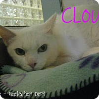 Domestic Shorthair Cat for adoption in Hamilton, Ontario - Cloud