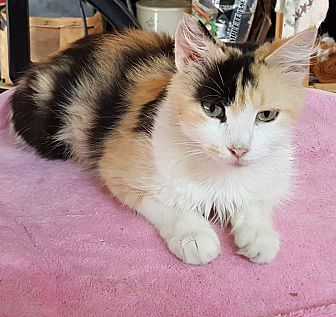 Calico Cat for adoption in Somerset, Kentucky - Gladys Cravits
