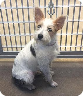 Jack Russell Terrier Dog for adoption in Dallas/Ft. Worth, Texas - Reagan in Dallas