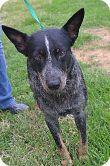 Blue Heeler Mix Dog for adoption in Beaumont, Texas - Mack