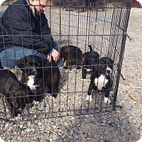 Retriever (Unknown Type)/Shepherd (Unknown Type) Mix Puppy for adoption in Unionville, Pennsylvania - Retr/Shep pups F