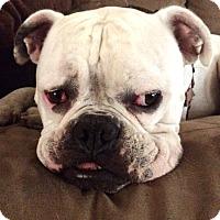 Adopt A Pet :: Comet - Fremont, CA