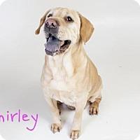 Adopt A Pet :: *SHIRLEY - Sacramento, CA