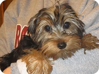 Yorkie Rescue Pennsylvania Related Keywords & Suggestions