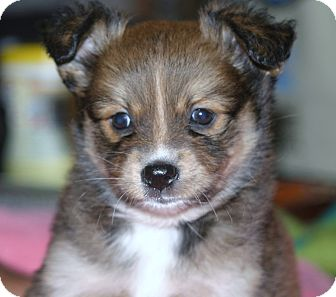 Pomeranian/Australian Shepherd Mix Puppy for adoption in Santa Ana, California - Maura