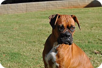 Boxer Dog for adoption in Wilmington, Delaware - Roxy