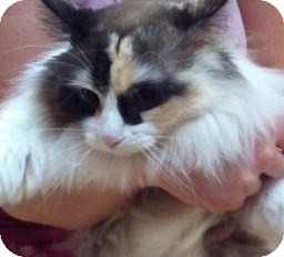 Ragdoll Cat for adoption in Huntsville, Ontario - Fire - Lovebug Ragdoll Cross!