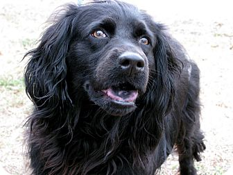 English Springer Spaniel Mix Dog for adoption in Bradenton, Florida - Betty