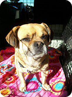 Pug/Beagle Mix Dog for adoption in Anaheim, California - Roscoe
