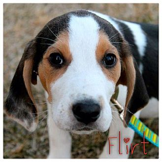 Hound (Unknown Type) Mix Puppy for adoption in Garden City, Michigan - Flirt