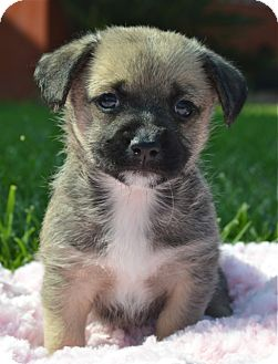 Cairn Terrier/Chihuahua Mix Puppy for adoption in Los Angeles, California - Waddles