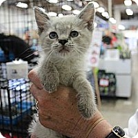 Adopt A Pet :: kitty10 - Santa Monica, CA